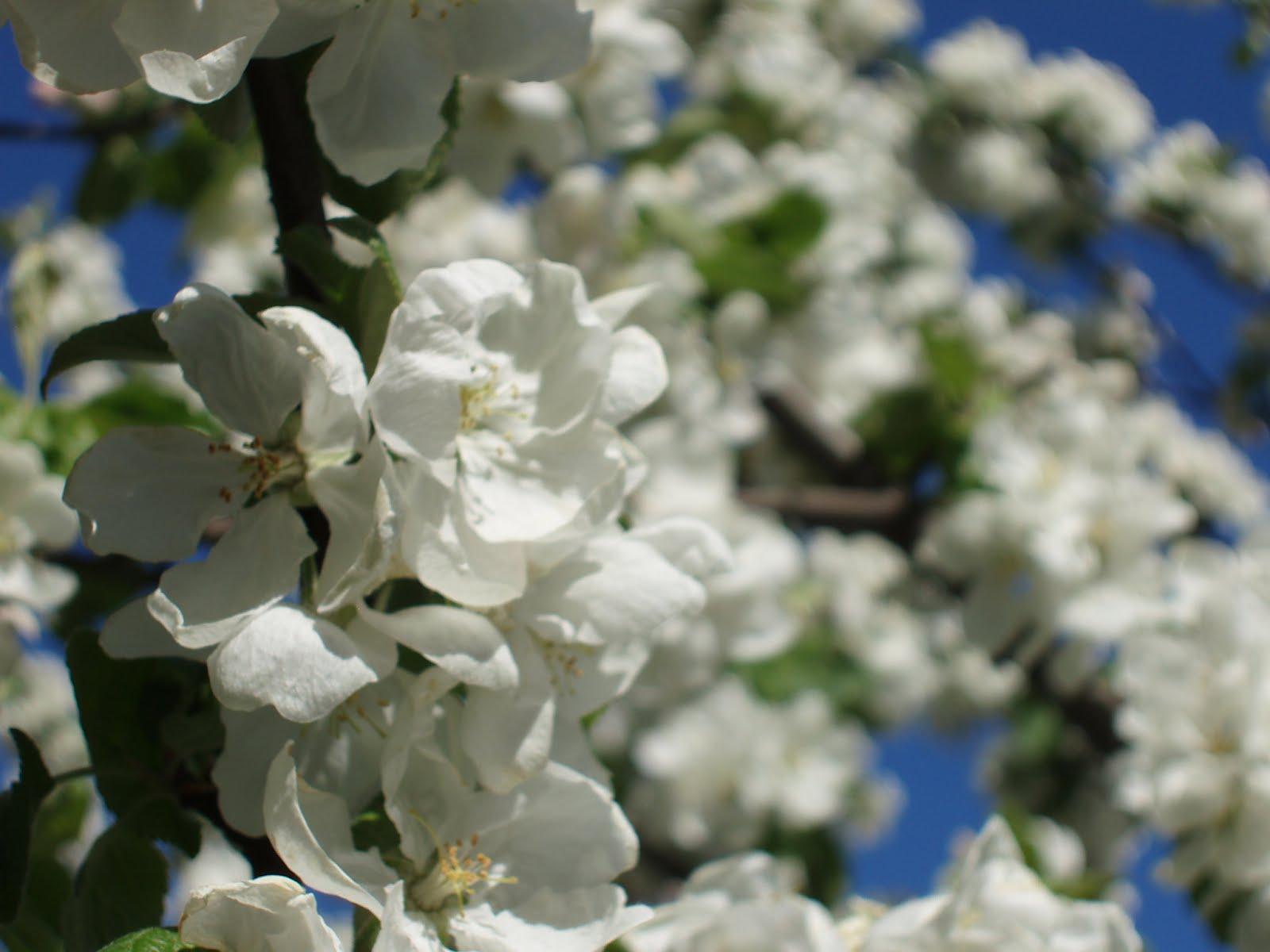 Lyrics Flor Blancheflor Vi White Flower
