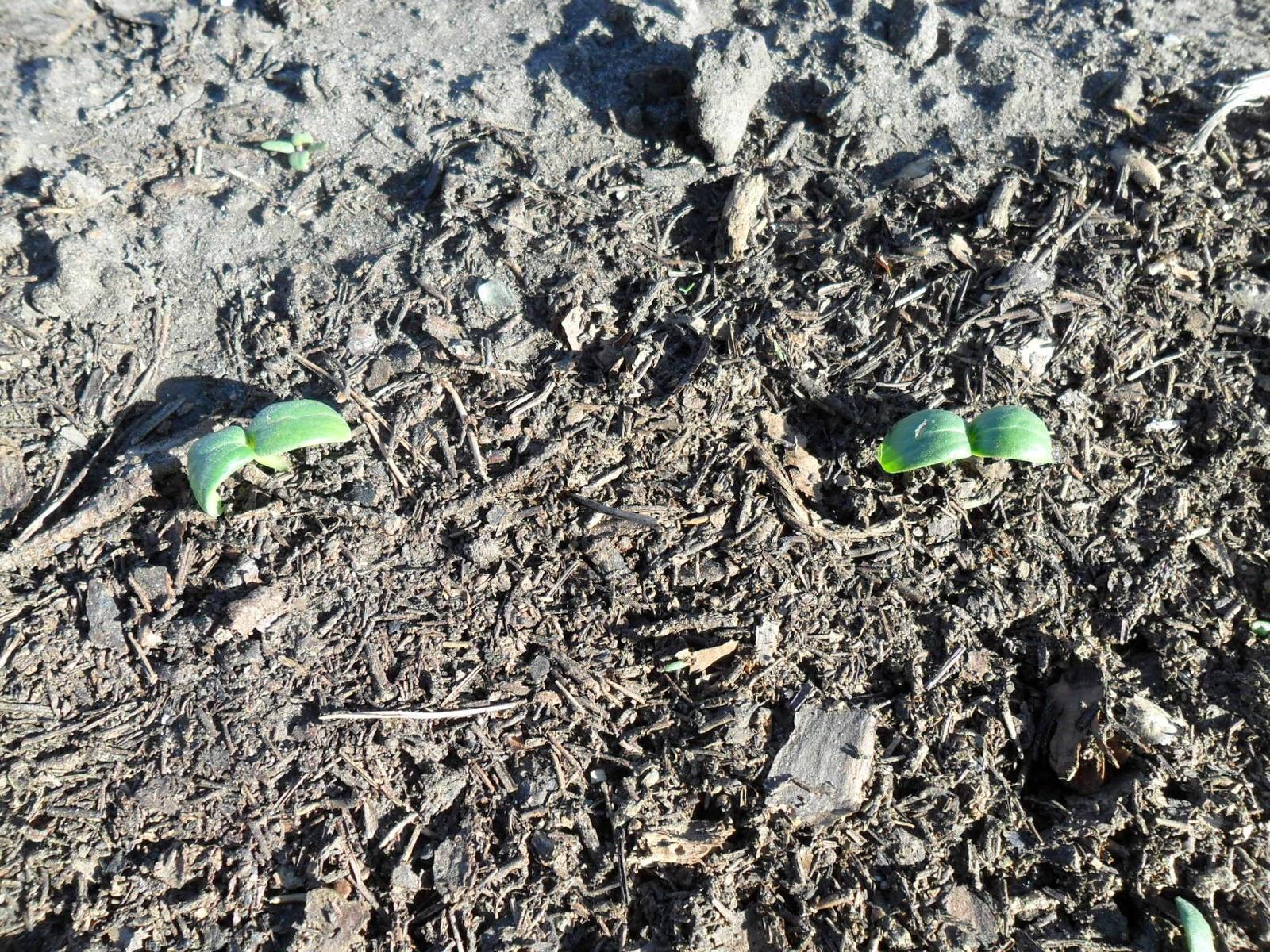 Всходы огурцов в открытом грунте