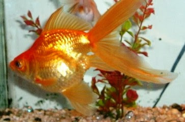 Fantail Goldfish Pictures