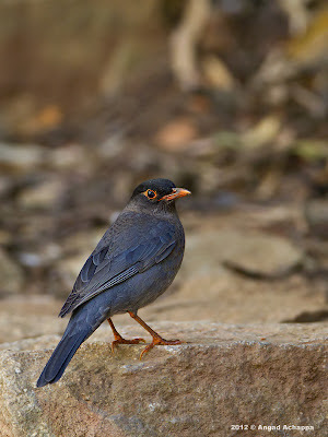 Eurasian Blackbird at Nandi Hills