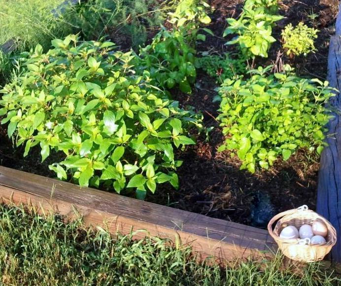 how to use fresh chicken manure in the garden