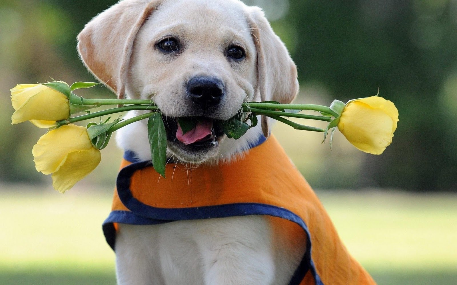 Labrador Puppy HD Wallpaper  Love Wallpapers  Romantic Wallpapers