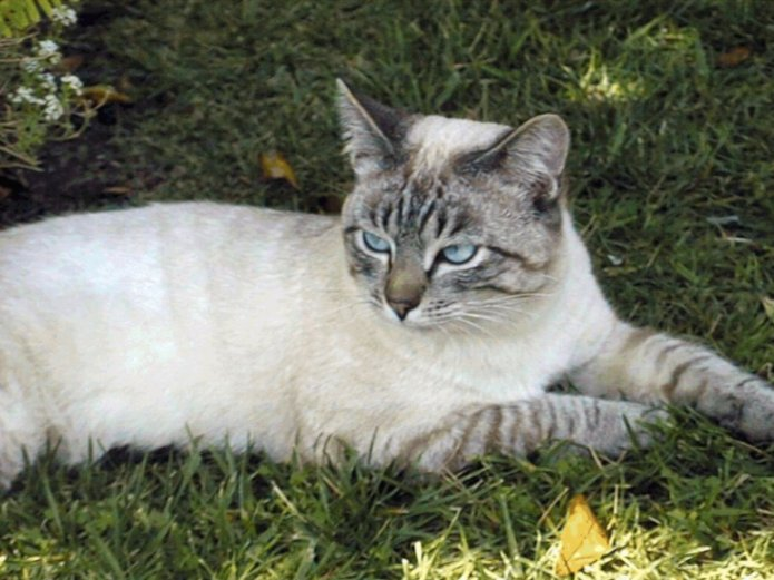 Seal Lynx Point Siamese Cat Pictures