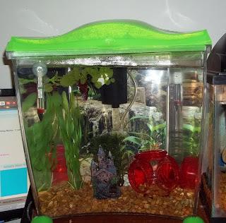 Ultimate betta and the bubble nest tanks for Bubbles in betta fish tank