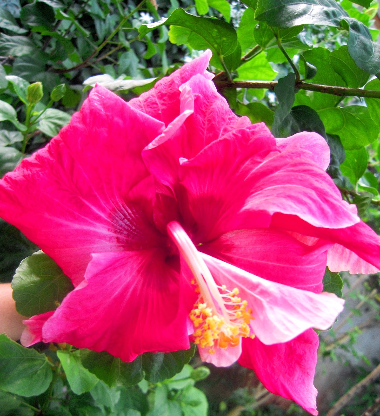 Legend of the hibiscus kamsha r maharaj legend of the hibiscus izmirmasajfo