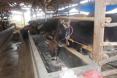harga sapi qurban kurban kambing 2013 makan