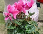 cyclamen_violeta_persa