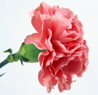 http://www.wallcoo.net/flower/carnation_flowers_mothers_day/