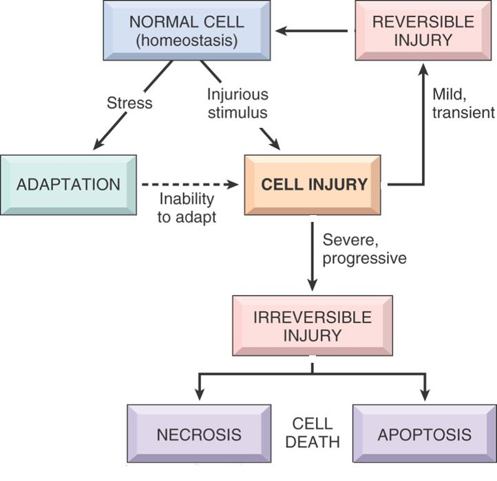 the stress response and its stages With additional research, selye concluded that these changes were not an isolated case, but rather the typical response to stress selye identified these stages as alarm, resistance, and exhaustion.