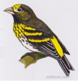 Gambar burung kenari melayu atau serinus estherae atau kenari gunung atau mountain serin