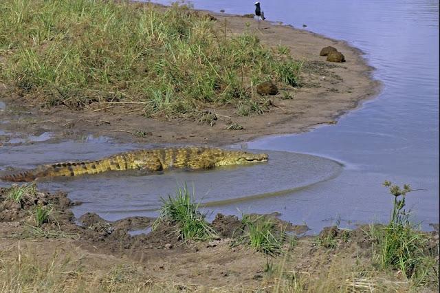 Buy wall art of Nile Crocodile