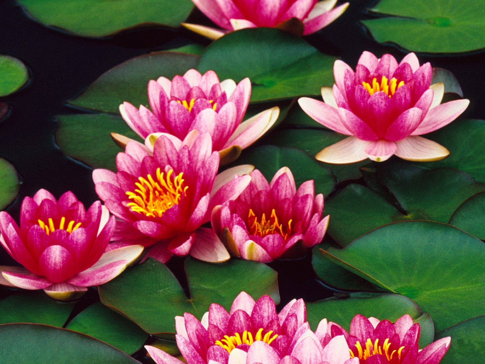 lilly flower types hd wallpaper 1600x1200 free download