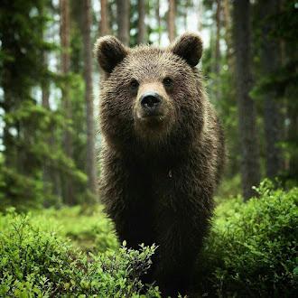 Cucciolo di orso  bruno.