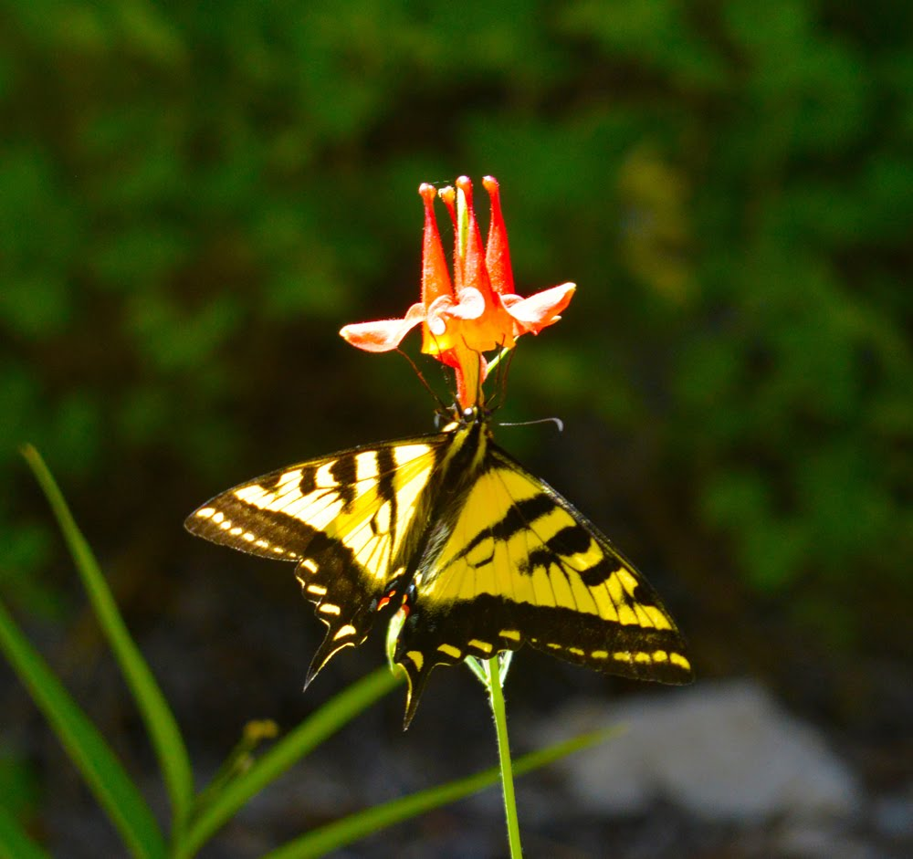 Columbine with Tiger Swallowtail_7811