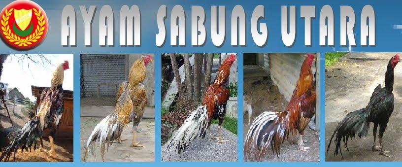 Ayam sabung utara