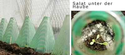 Plastikhauben schützen die Sämlinge vor Nachtfrost