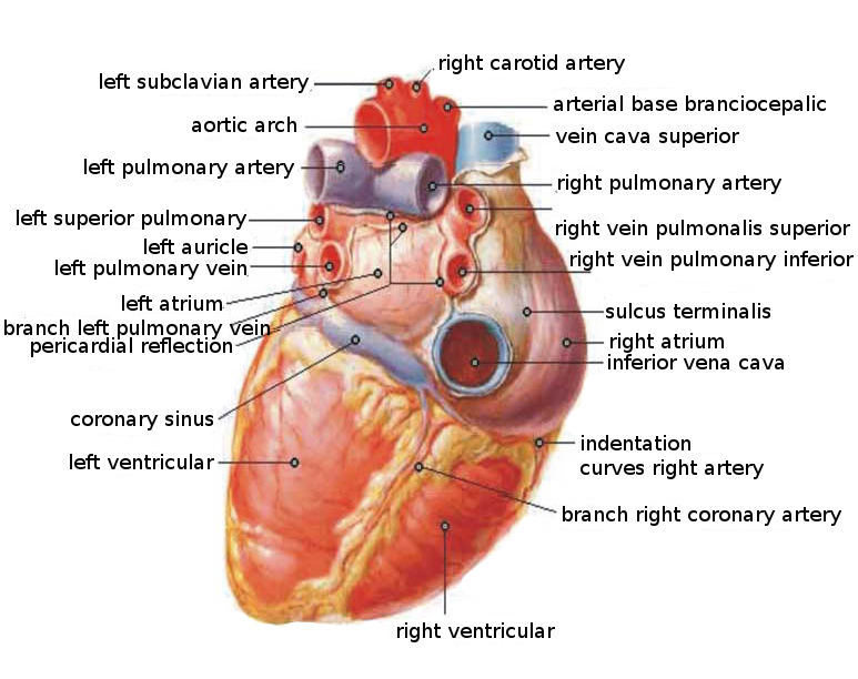 Anatomical Structure Of The Heart