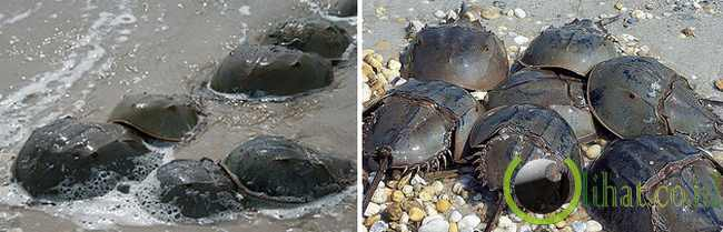 Horseshoe Crab atau Belangas atau Mimi Hitam (445 juta tahun)