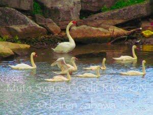 Mute Swans, Port Credit Ontario