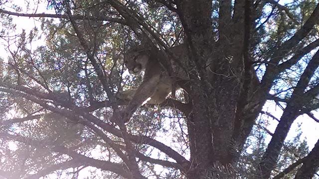 treed+lion.jpg