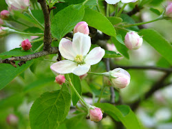 Michigan Apple blossoms