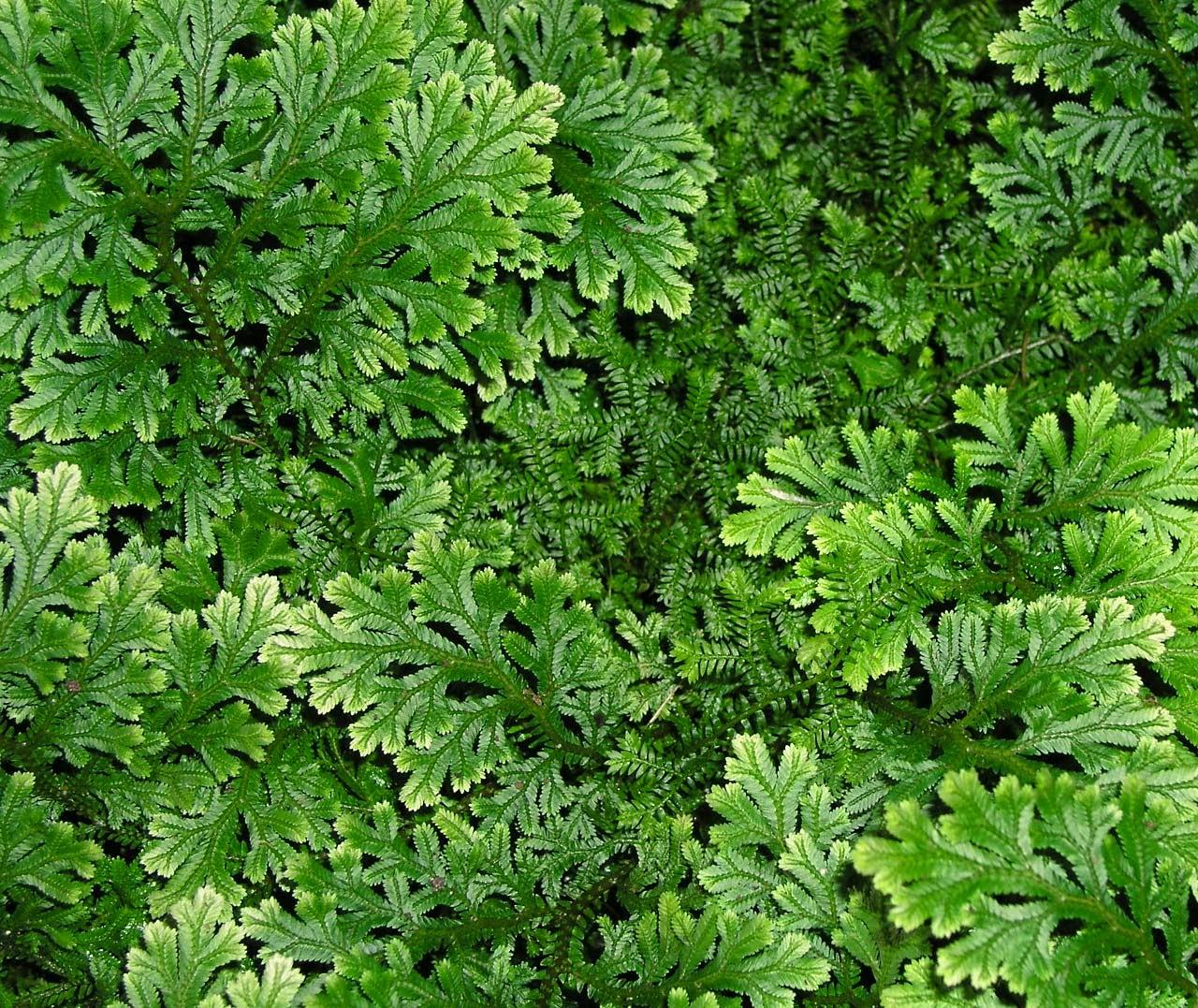 Permafor t les foug res des plantes primitives - Plantes qui poussent dans l eau ...
