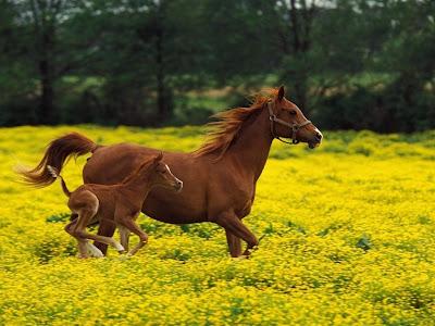 endogamia en caballos pura sangre: