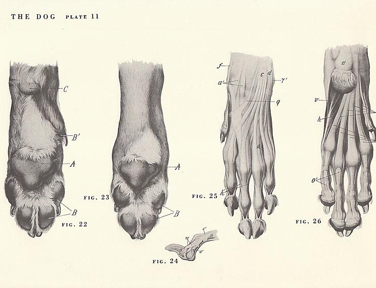 Cat Paws Anatomy - cat paw detail ii by highdarktemplar on deviantart