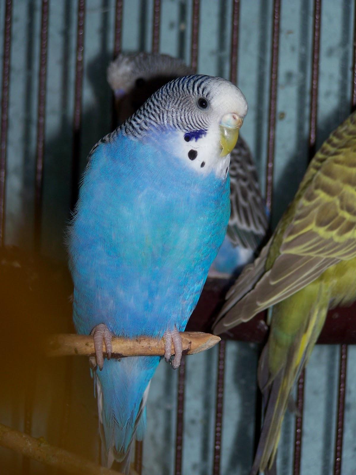 Содержание волнистых попугайчиков домашних условиях