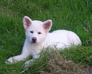 Akita Puppy Picture