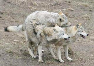 Les loups en action