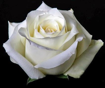 Brotes de amor significado de la rosa blanca - Significado rosas amarillas ...
