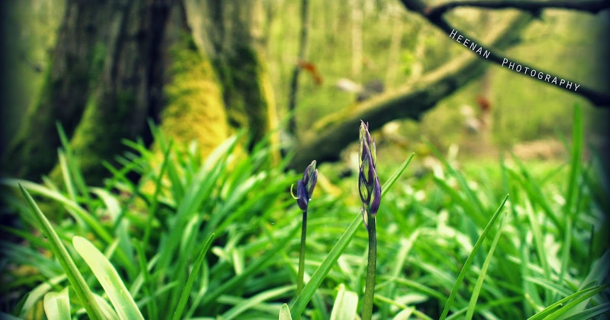 Bluebells Arising