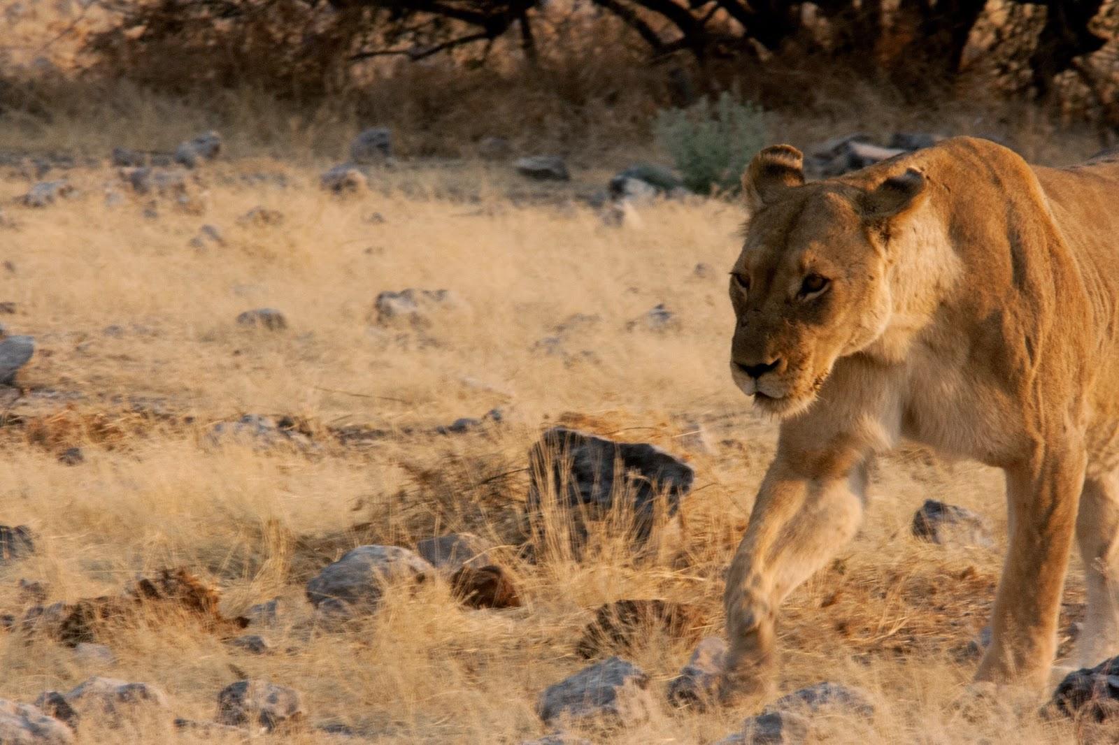 lioness etosha namibia africa