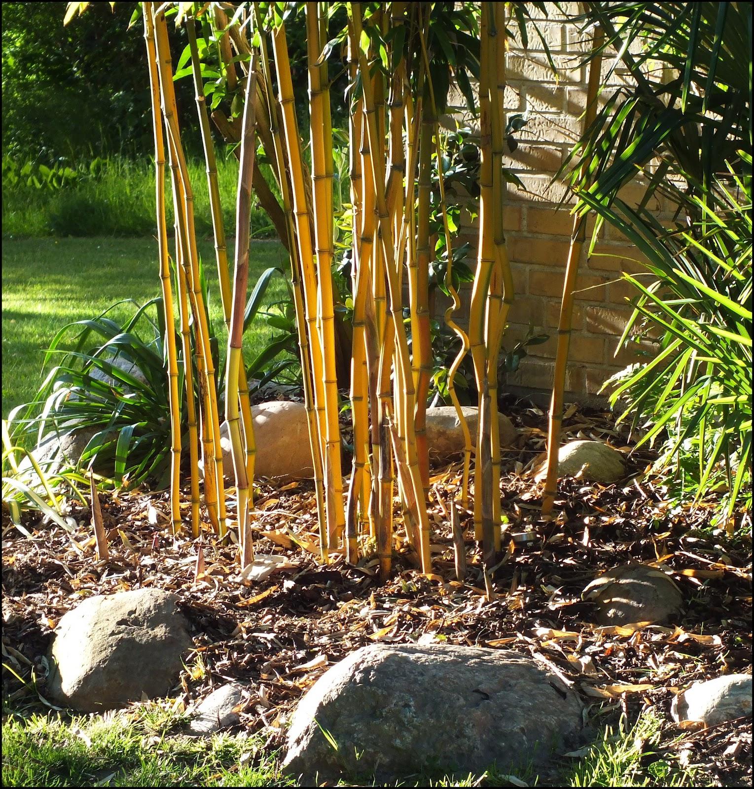 bambus kamelien yuccas mai 2012. Black Bedroom Furniture Sets. Home Design Ideas