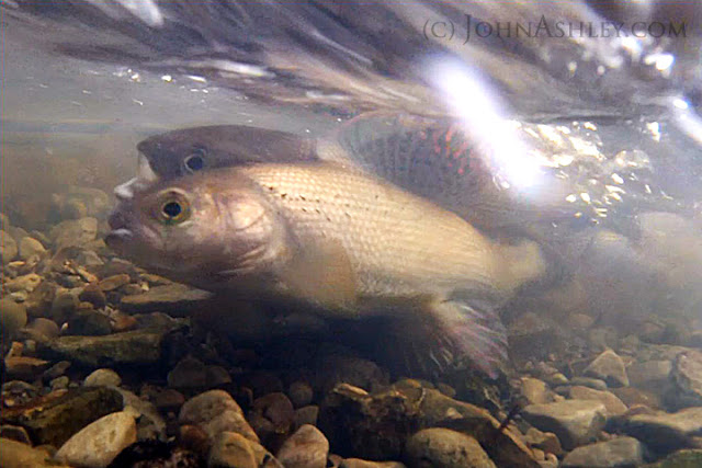 Arctic Grayling spawning in a western Montana stream (c) John Ashley
