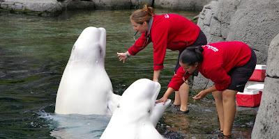 Las belugas del acuario de Vancouver, Canada