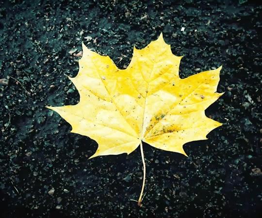 Autumn Leaf on Tarmac