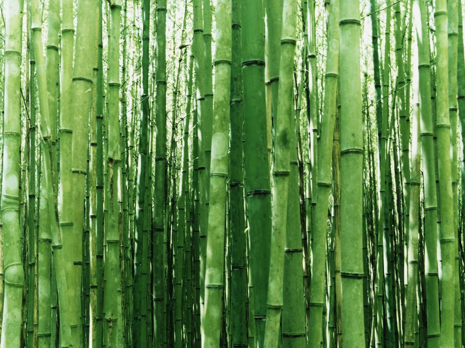 http://1.bp.blogspot.com/-XOhXYPe0JA0/TxhdT85SVfI/AAAAAAAAAJo/quokaPF7RRo/s1600/vista-wallpaper-bamboo.jpg