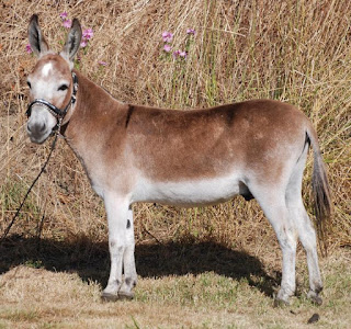 Miniature donkey showmanship conformation