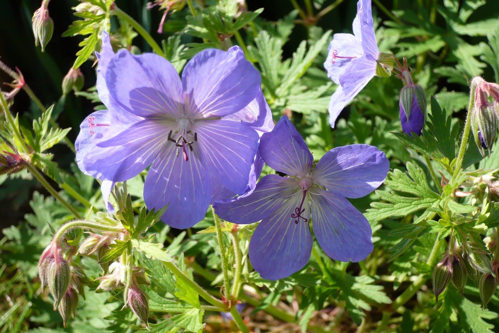 Le jardin de pacalou a quand la pluie - Quand couper les fleurs de lavande ...