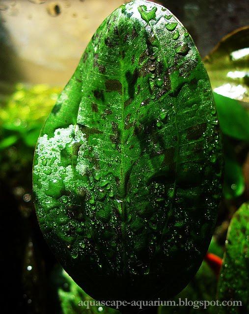 Aquarium-Plants-Echinodorus-Ozelot-Pictures