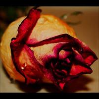 foto trandafir