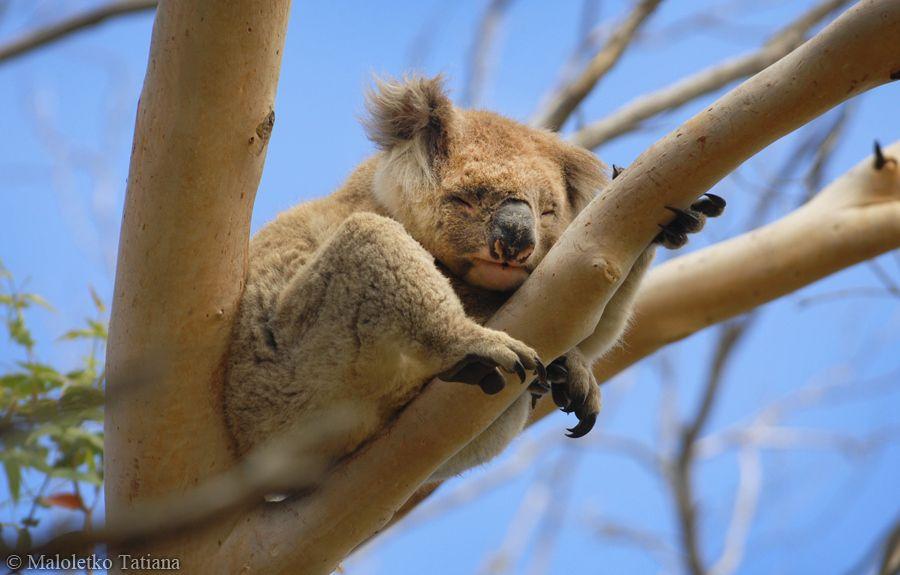 18. Wild koala by Tatiana Maloletko