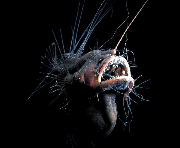 Mariana trench - fanfin seadevil, fanfin seadevil