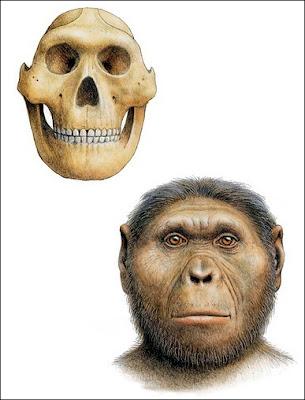 Paranthropus robustus craneo
