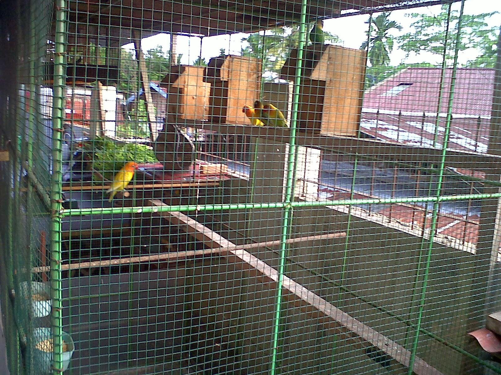 peternakan love bird pekanbaru pekanbarukicau blogspot