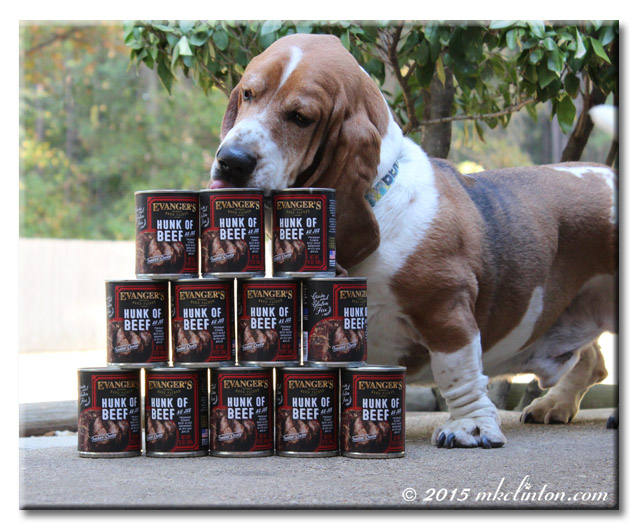 Basset Hound Licking stack of Evanger's dog food cans