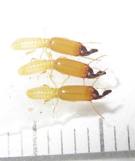 Soldiers of Pericapritermes dolichocephalus