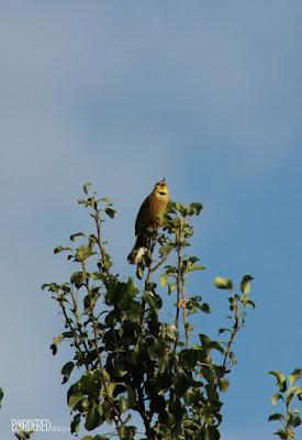 Bird singing on top of a wild pear tree